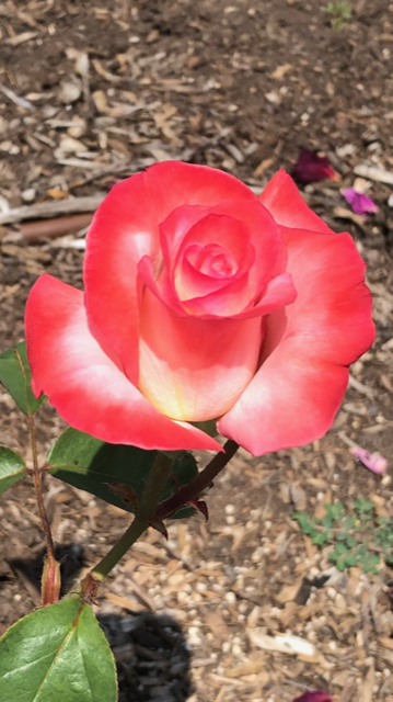Richmond Rose Garden Red Rose Tall