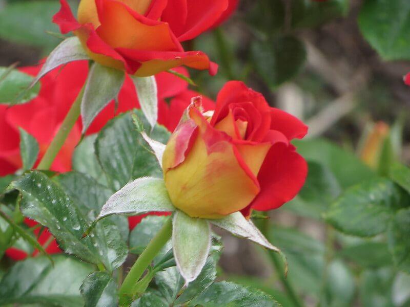 ketchup and mustard roses
